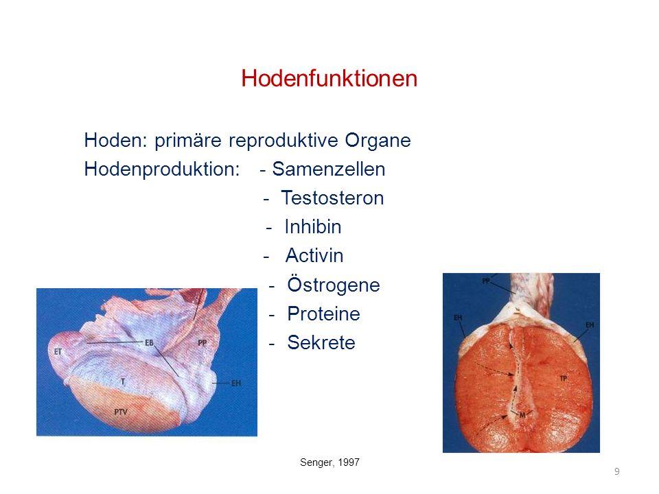 Hodenfunktionen Hoden: primäre reproduktive Organe Hodenproduktion: - Samenzellen - Testosteron - Inhibin - Activin - Östrogene - Proteine - Sekrete 9