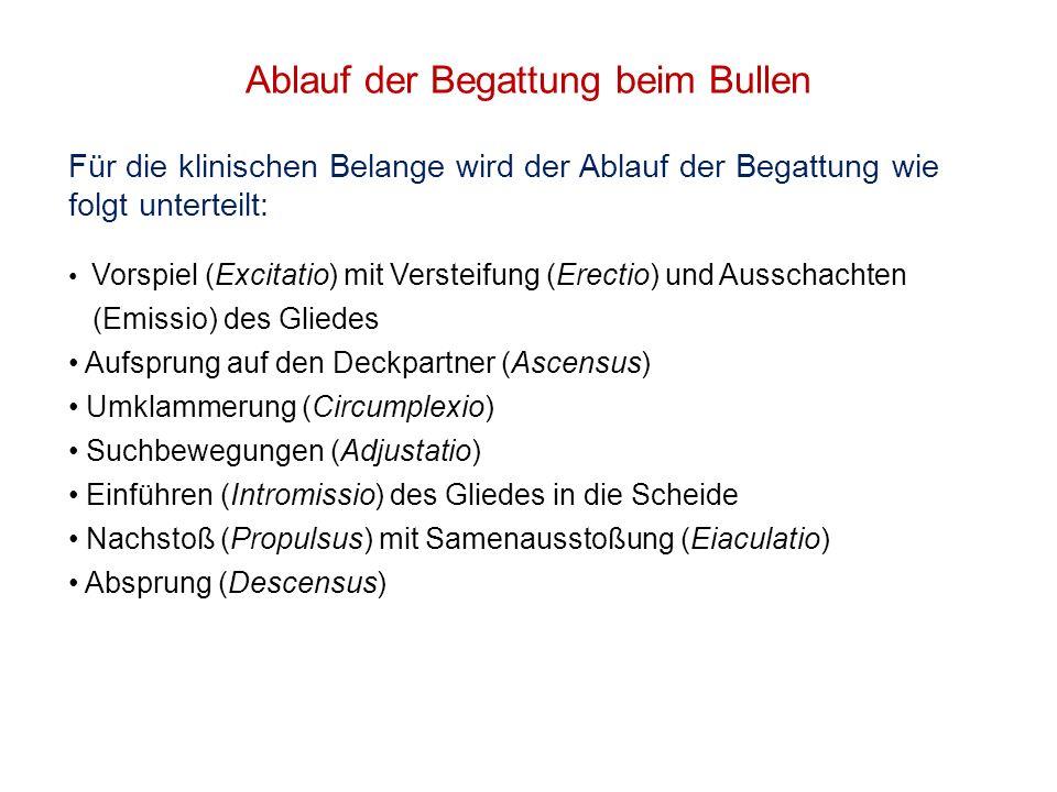 Ablauf der Begattung beim Bullen Für die klinischen Belange wird der Ablauf der Begattung wie folgt unterteilt: Vorspiel (Excitatio) mit Versteifung (