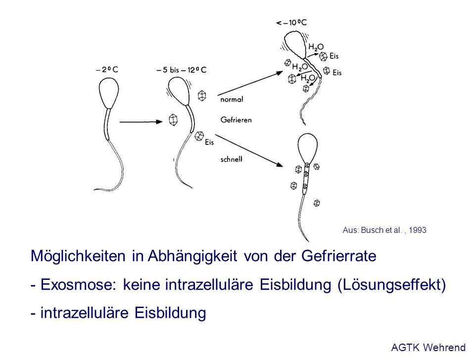 Möglichkeiten in Abhängigkeit von der Gefrierrate - Exosmose: keine intrazelluläre Eisbildung (Lösungseffekt) - intrazelluläre Eisbildung Aus: Busch et al., 1993 AGTK Wehrend
