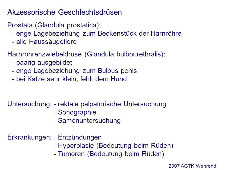 Akzessorische Geschlechtsdrüsen Prostata (Glandula prostatica): - enge Lagebeziehung zum Beckenstück der Harnröhre - alle Haussäugetiere Harnröhrenzwiebeldrüse (Glandula bulbourethralis): - paarig ausgebildet - enge Lagebeziehung zum Bulbus penis - bei Katze sehr klein, fehlt dem Hund Untersuchung:- rektale palpatorische Untersuchung - Sonographie - Samenuntersuchung Erkrankungen:- Entzündungen - Hyperplasie (Bedeutung beim Rüden) - Tumoren (Bedeutung beim Rüden) 2007 AGTK Wehrend