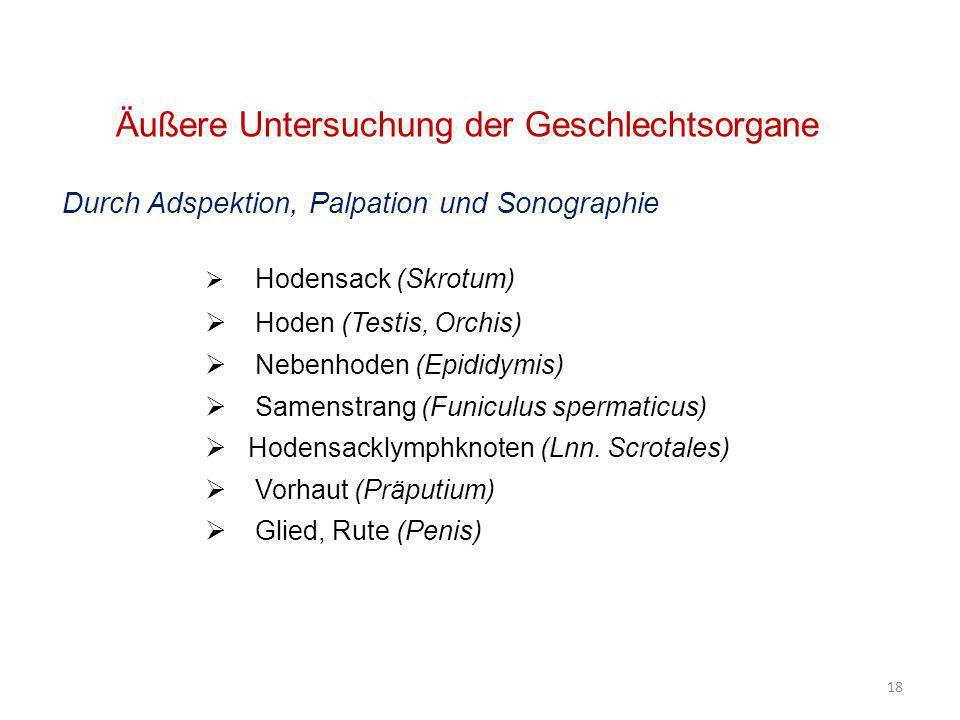 18 Äußere Untersuchung der Geschlechtsorgane Durch Adspektion, Palpation und Sonographie Hodensack (Skrotum) Hoden (Testis, Orchis) Nebenhoden (Epidid