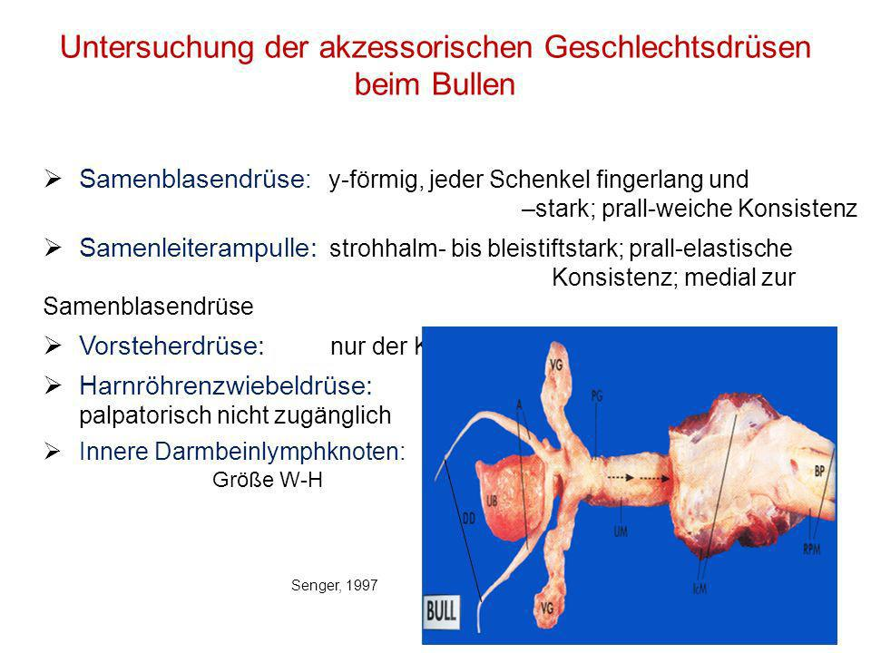 29 Untersuchung der akzessorischen Geschlechtsdrüsen beim Bullen Samenblasendrüse : y-förmig, jeder Schenkel fingerlang und –stark; prall-weiche Konsi