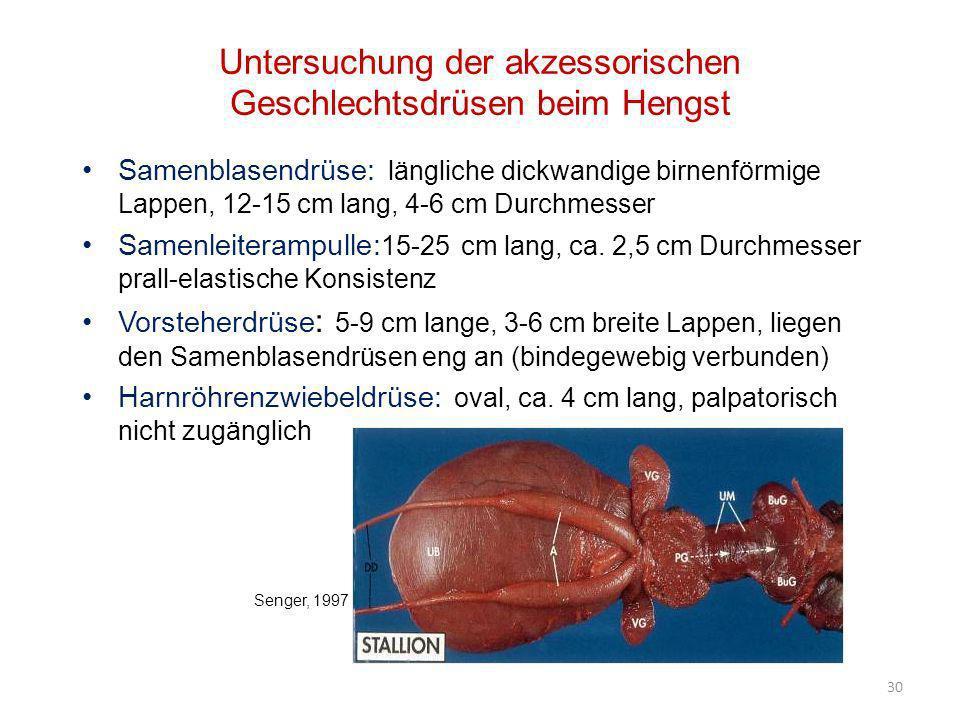 30 Untersuchung der akzessorischen Geschlechtsdrüsen beim Hengst Samenblasendrüse: längliche dickwandige birnenförmige Lappen, 12-15 cm lang, 4-6 cm D