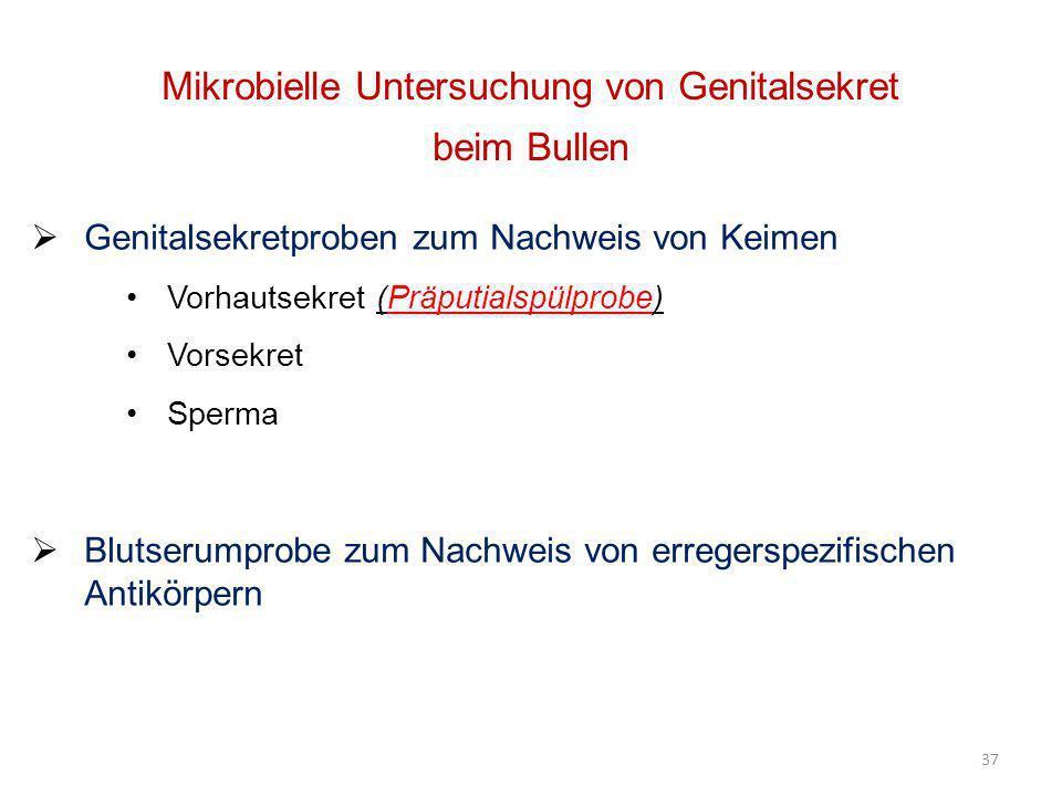 37 Mikrobielle Untersuchung von Genitalsekret beim Bullen Genitalsekretproben zum Nachweis von Keimen Vorhautsekret (Präputialspülprobe) Vorsekret Spe