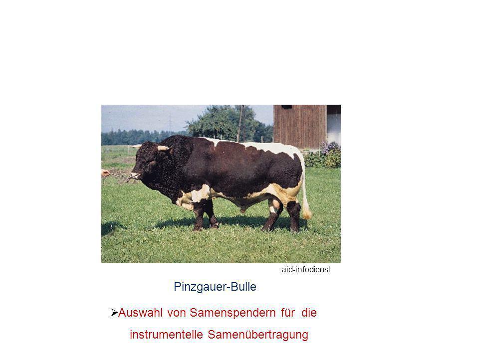 Pinzgauer-Bulle Auswahl von Samenspendern für die instrumentelle Samenübertragung aid-infodienst