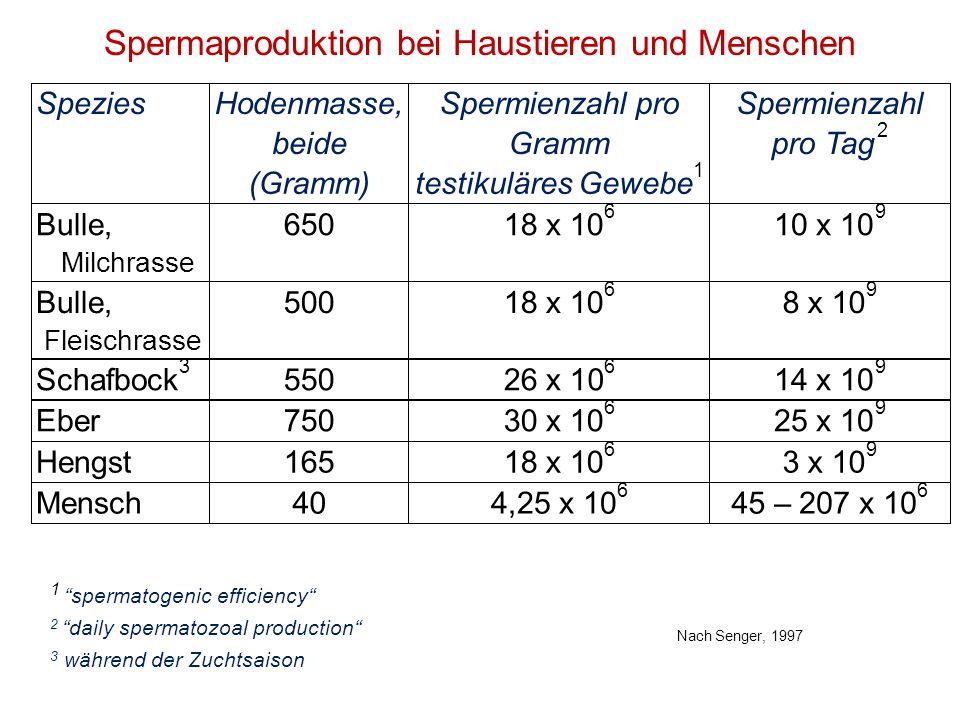 Spermaproduktion bei Haustieren und Menschen 1 spermatogenic efficiency 2 daily spermatozoal production 3 während der Zuchtsaison Nach Senger, 1997