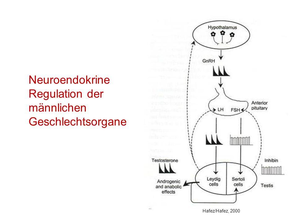 Neuroendokrine Regulation der männlichen Geschlechtsorgane Hafez/Hafez, 2000