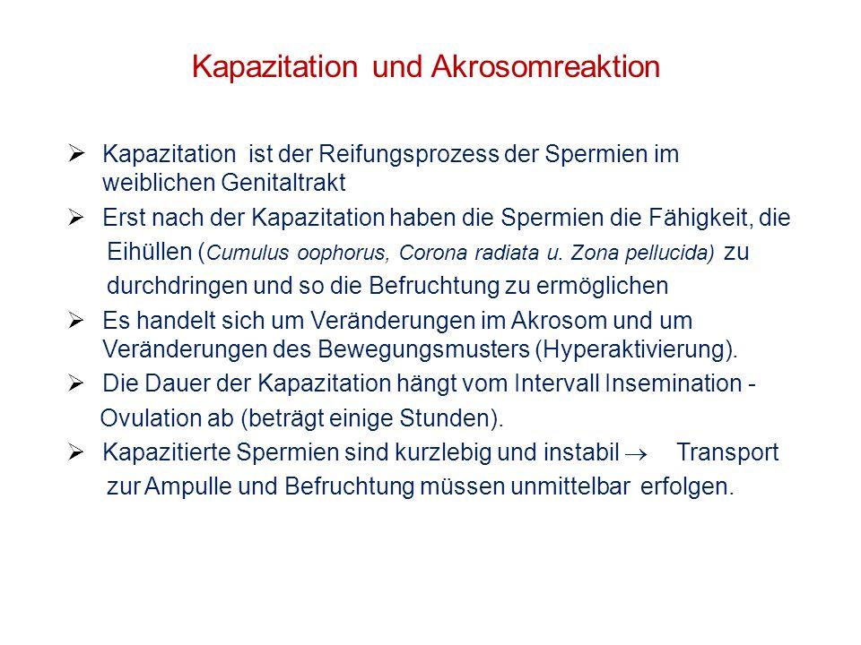 Kapazitation und Akrosomreaktion Kapazitation ist der Reifungsprozess der Spermien im weiblichen Genitaltrakt Erst nach der Kapazitation haben die Spe