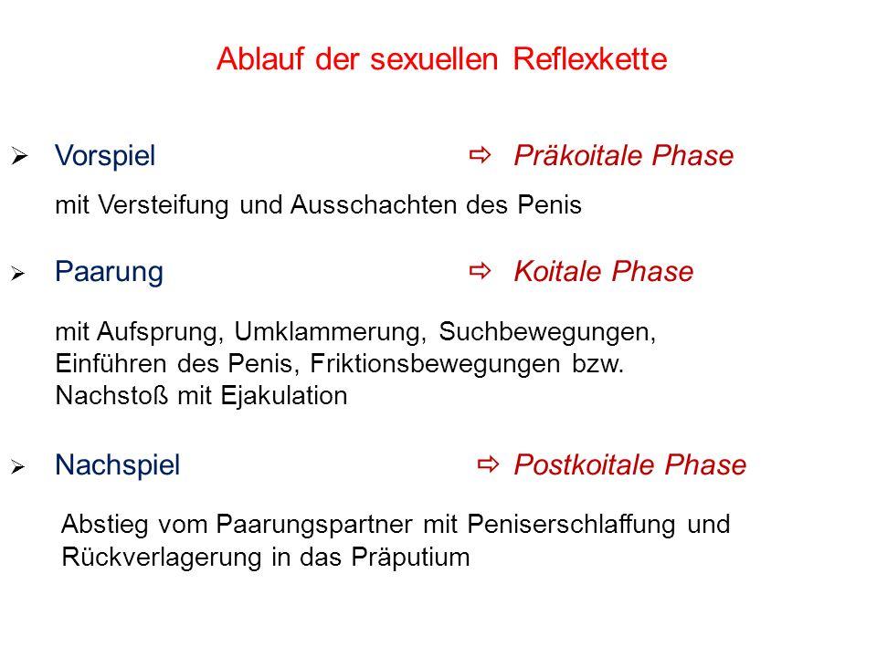 Ablauf der sexuellen Reflexkette Vorspiel Präkoitale Phase mit Versteifung und Ausschachten des Penis Paarung Koitale Phase mit Aufsprung, Umklammerun