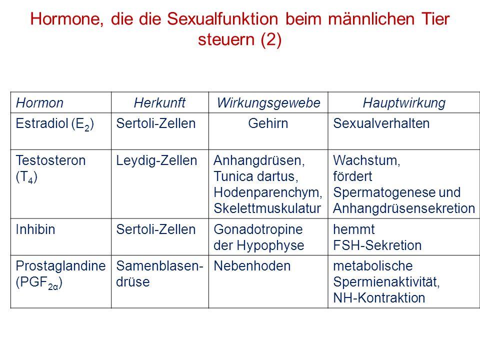 Hormon HerkunftWirkungsgewebeHauptwirkung Estradiol (E 2 )Sertoli-ZellenGehirnSexualverhalten Testosteron (T 4 ) Leydig-ZellenAnhangdrüsen, Tunica dar