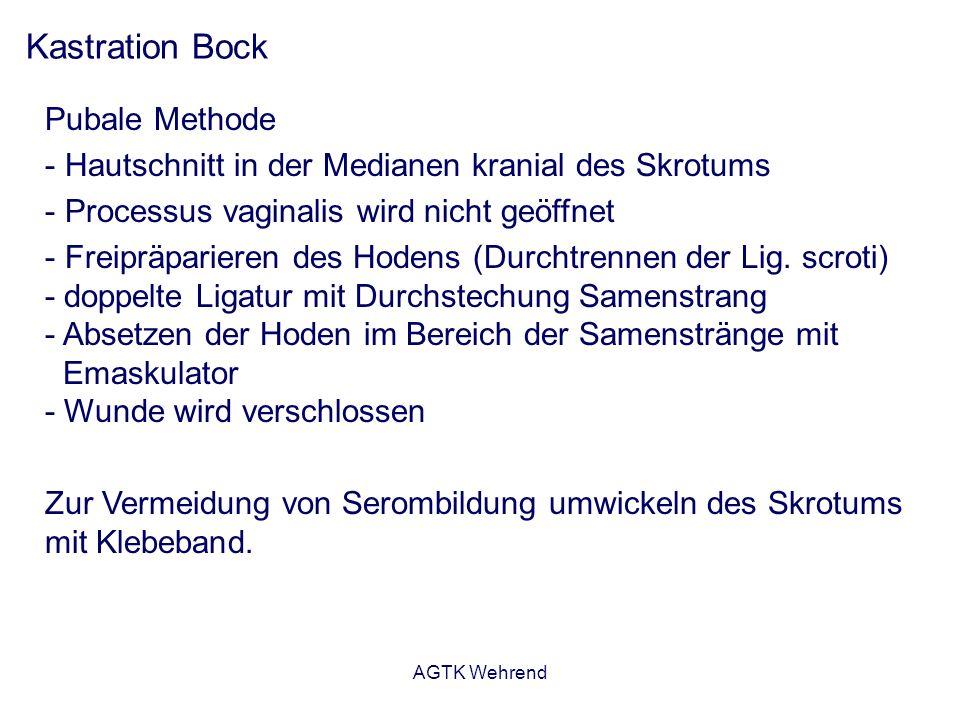 AGTK Wehrend Kastration Bock Pubale Methode - Hautschnitt in der Medianen kranial des Skrotums - Processus vaginalis wird nicht geöffnet - Freipräparieren des Hodens (Durchtrennen der Lig.