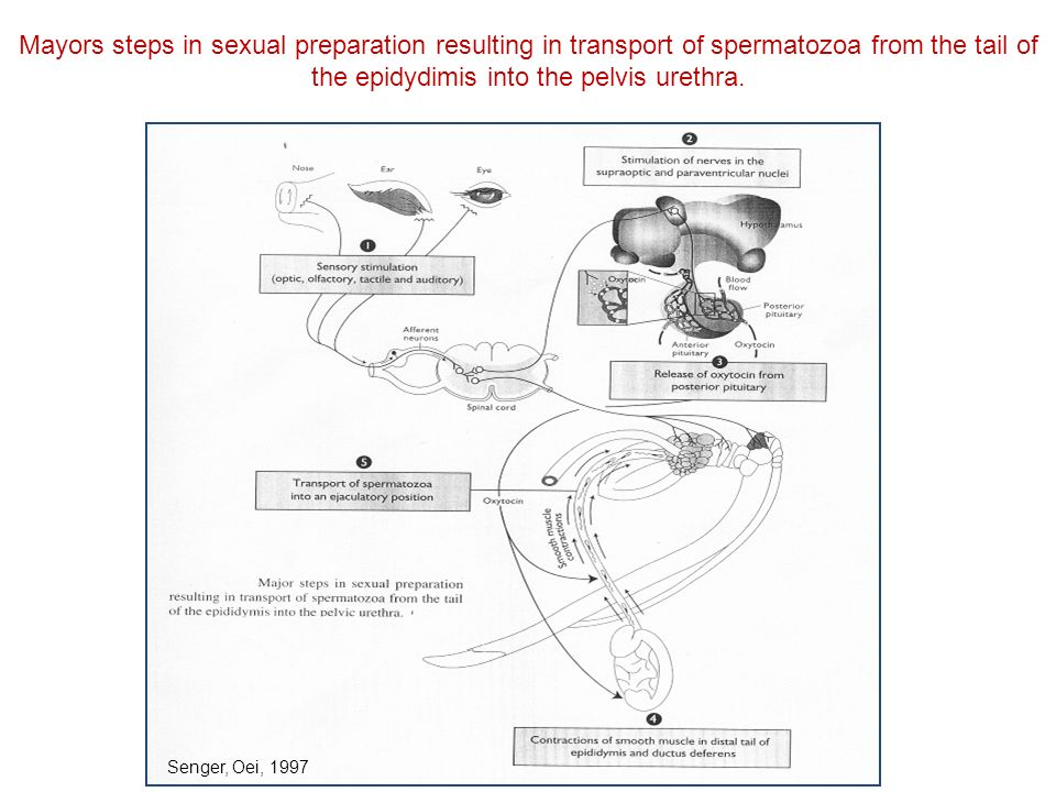 Mayors steps in sexual preparation resulting in transport of spermatozoa from the tail of the epidydimis into the pelvis urethra. Senger, Oei, 1997