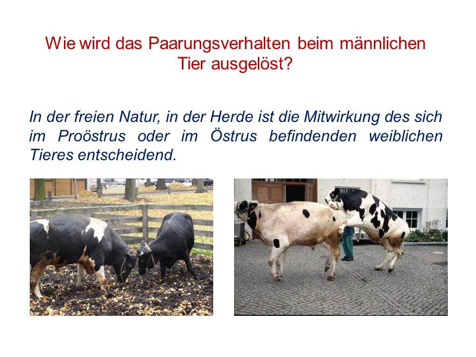 Wie wird das Paarungsverhalten beim männlichen Tier ausgelöst? In der freien Natur, in der Herde ist die Mitwirkung des sich im Proöstrus oder im Östr