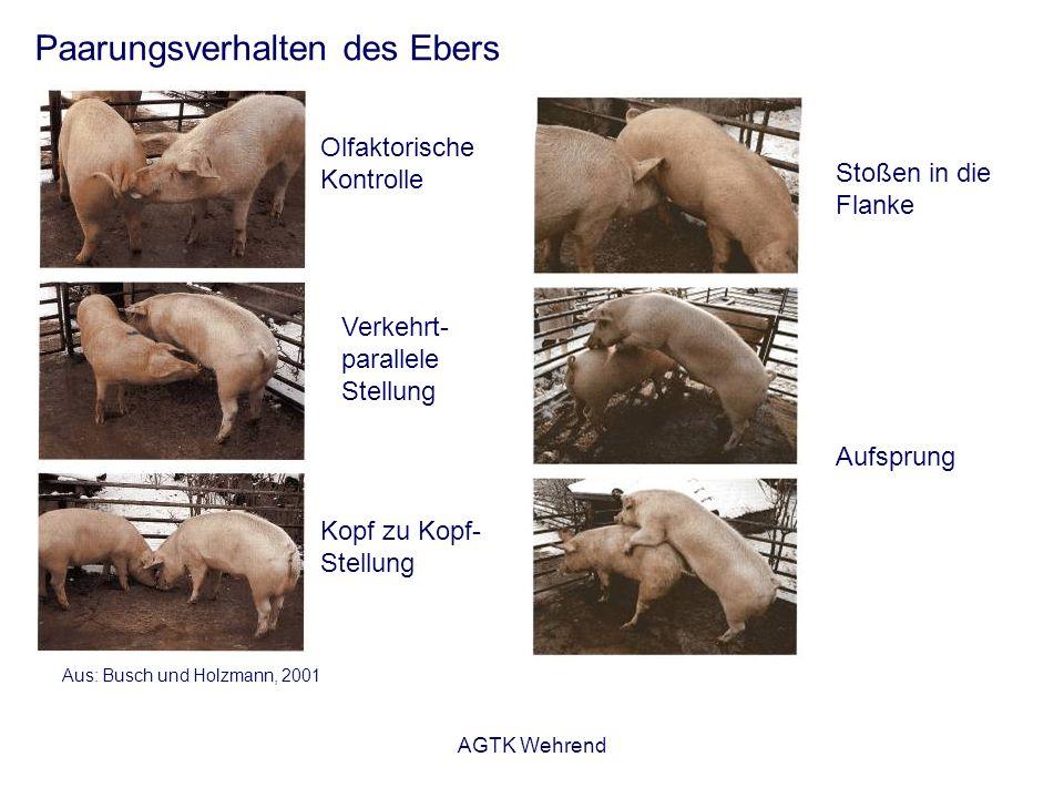 AGTK Wehrend Paarungsverhalten des Ebers Aus: Busch und Holzmann, 2001 Olfaktorische Kontrolle Verkehrt- parallele Stellung Stoßen in die Flanke Aufsprung Kopf zu Kopf- Stellung