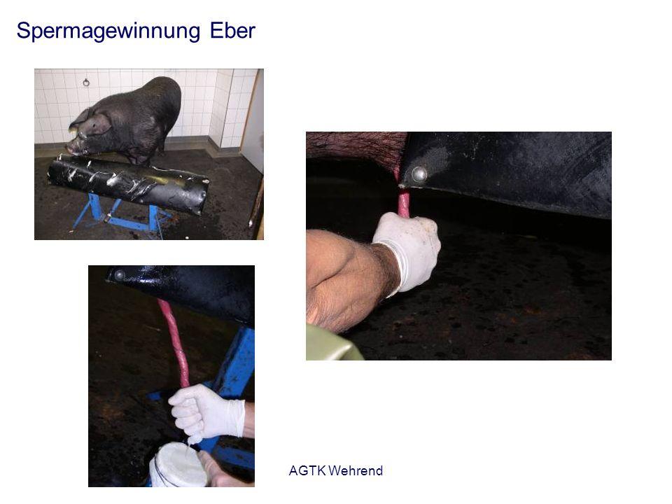 AGTK Wehrend Spermagewinnung Eber