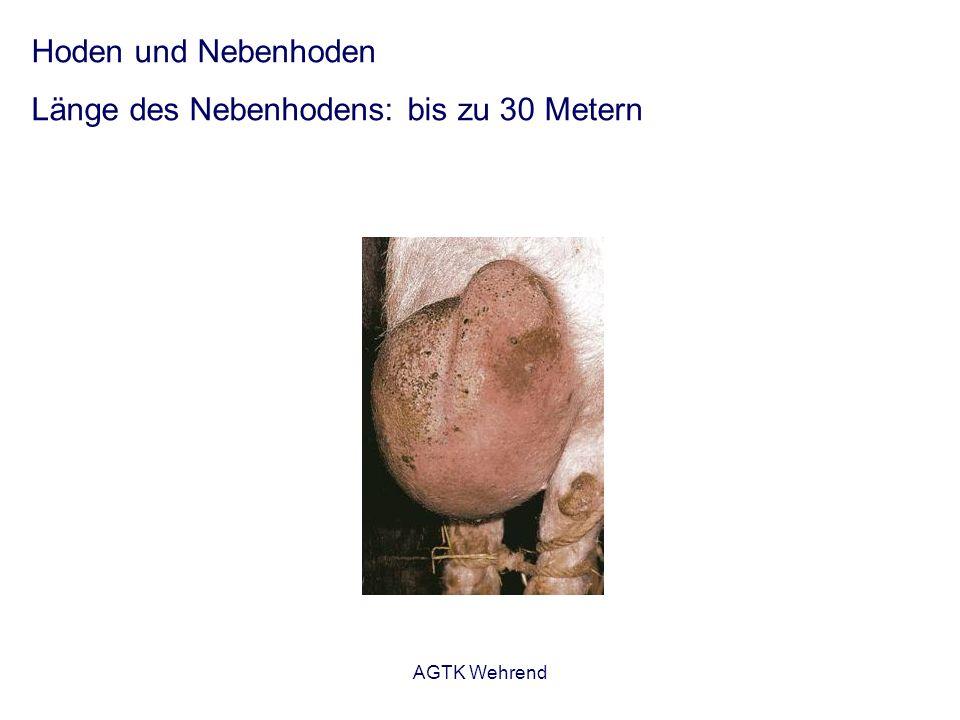 AGTK Wehrend Hoden und Nebenhoden Länge des Nebenhodens: bis zu 30 Metern