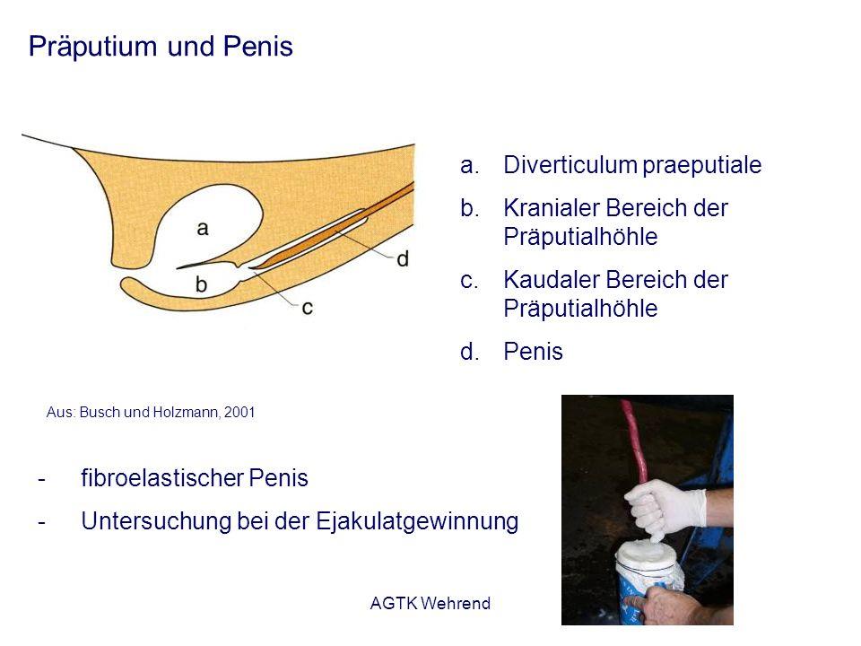 AGTK Wehrend Präputium und Penis a.Diverticulum praeputiale b.Kranialer Bereich der Präputialhöhle c.Kaudaler Bereich der Präputialhöhle d.Penis Aus: Busch und Holzmann, 2001 -fibroelastischer Penis -Untersuchung bei der Ejakulatgewinnung