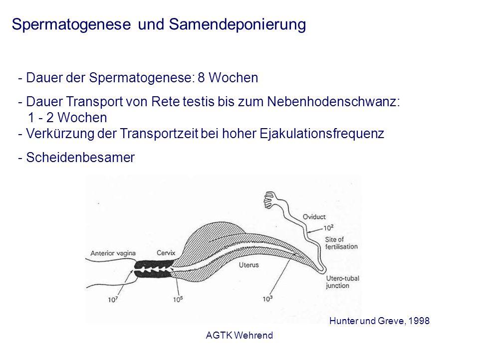 AGTK Wehrend Spermatogenese und Samendeponierung - Dauer der Spermatogenese: 8 Wochen - Dauer Transport von Rete testis bis zum Nebenhodenschwanz: 1 -
