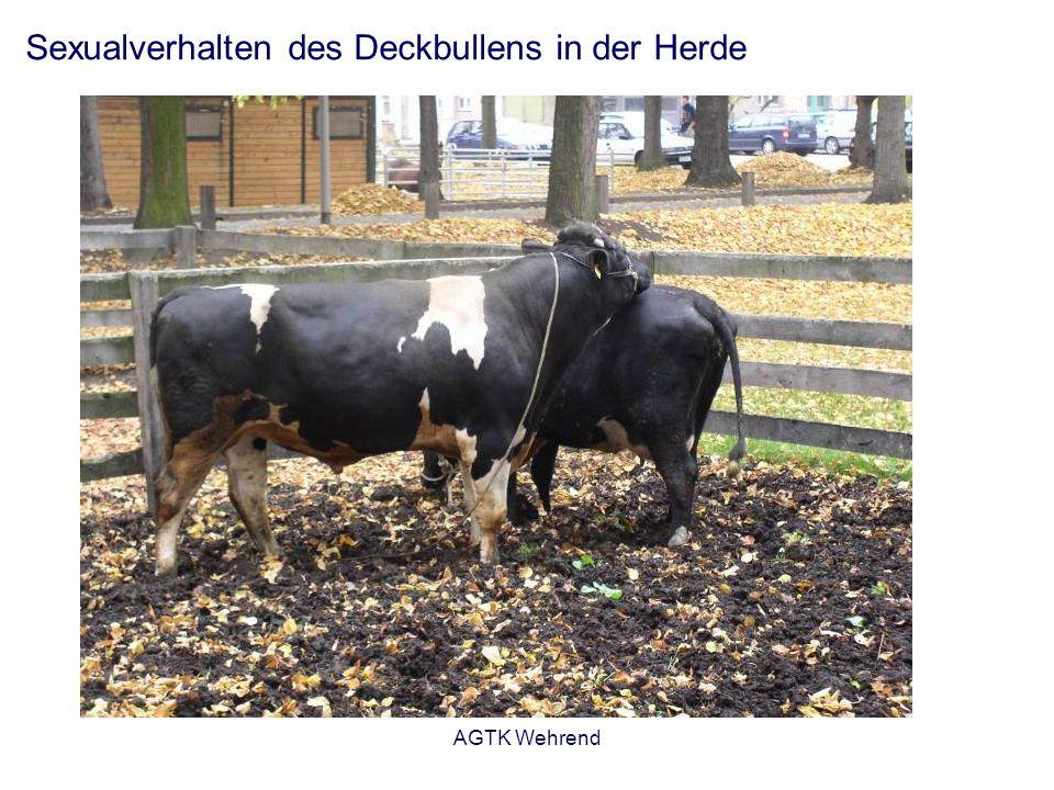 AGTK Wehrend Sexualverhalten des Deckbullens in der Herde