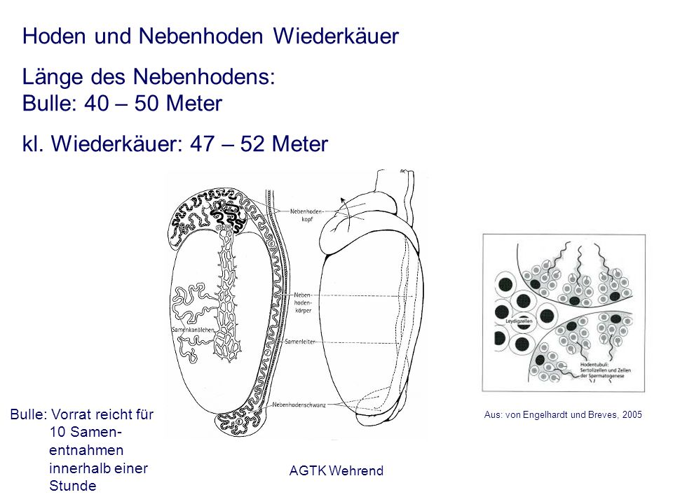AGTK Wehrend Aus: von Engelhardt und Breves, 2005 Hoden und Nebenhoden Wiederkäuer Länge des Nebenhodens: Bulle: 40 – 50 Meter kl. Wiederkäuer: 47 – 5