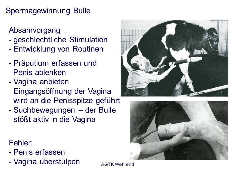 AGTK Wehrend Spermagewinnung Bulle Absamvorgang - geschlechtliche Stimulation - Entwicklung von Routinen - Präputium erfassen und Penis ablenken - Vag