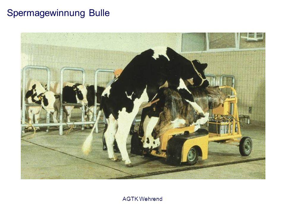 AGTK Wehrend Spermagewinnung Bulle