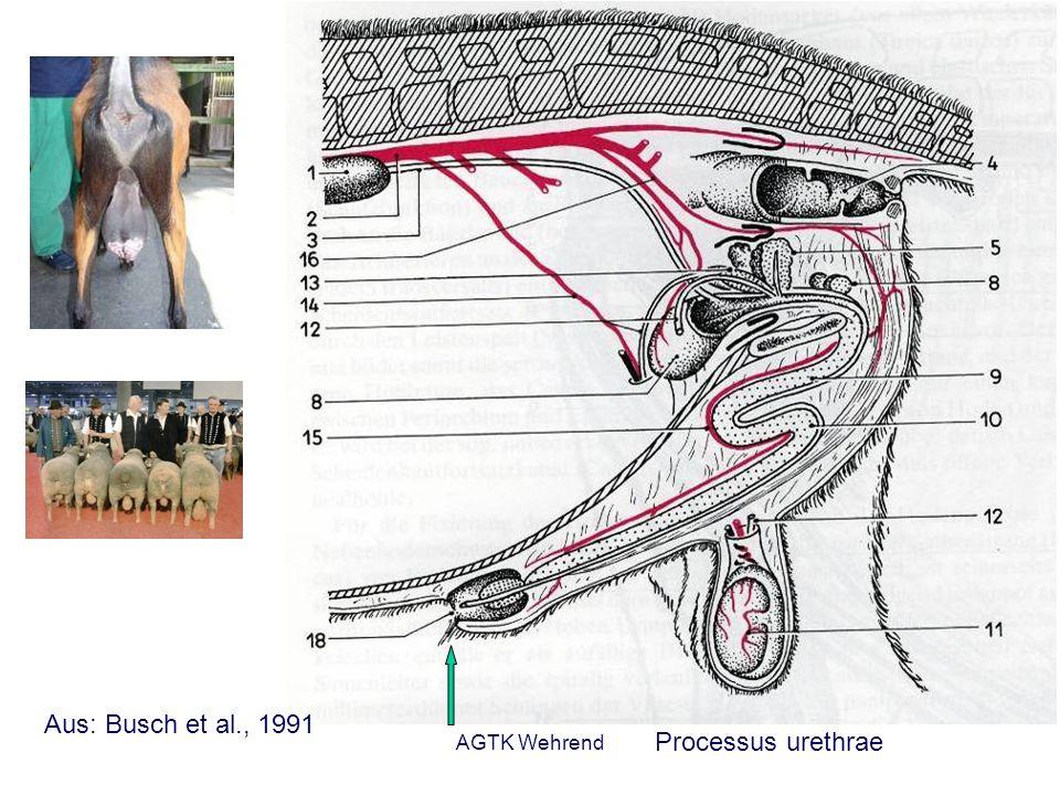 AGTK Wehrend Durchführung der Besamung Wenn der Besamer die Zervix zu sich hin zieht, legt sich die Schleimhaut der Vagina in Falten, in denen sich das Besamungsgerät verfängt.