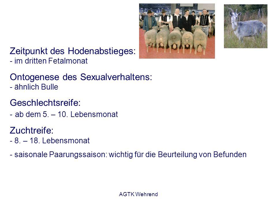 AGTK Wehrend Zeitpunkt des Hodenabstieges: - im dritten Fetalmonat Ontogenese des Sexualverhaltens: - ähnlich Bulle Geschlechtsreife: - ab dem 5. – 10
