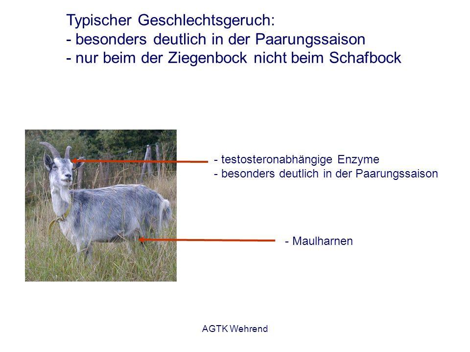 AGTK Wehrend Typischer Geschlechtsgeruch: - besonders deutlich in der Paarungssaison - nur beim der Ziegenbock nicht beim Schafbock - testosteronabhän