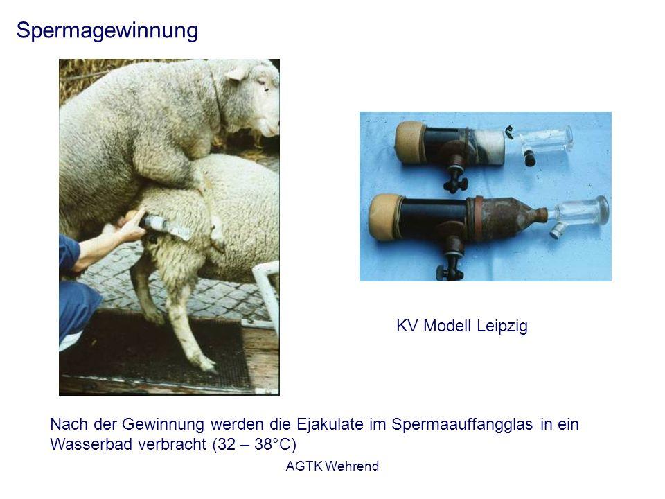 AGTK Wehrend Spermagewinnung KV Modell Leipzig Nach der Gewinnung werden die Ejakulate im Spermaauffangglas in ein Wasserbad verbracht (32 – 38°C)