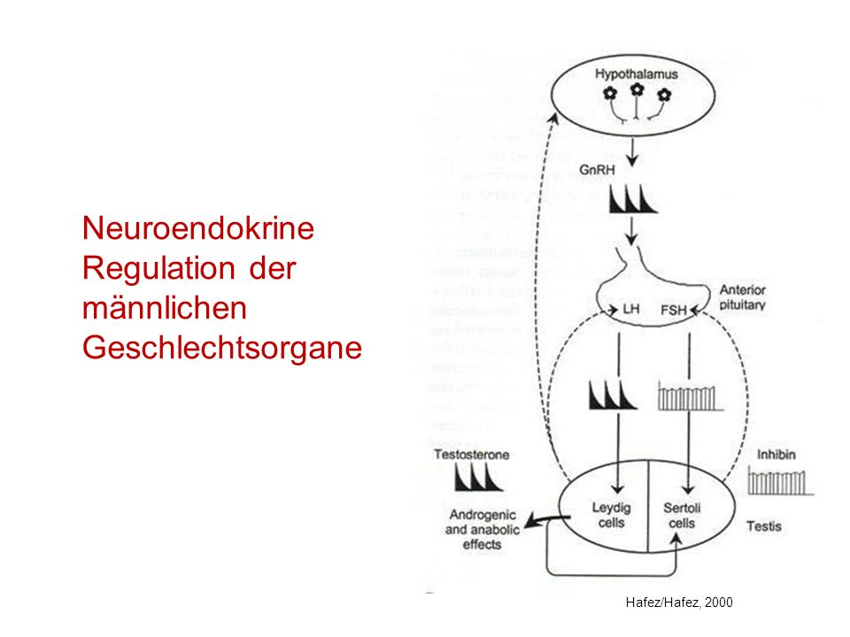 Hormone, die die Sexualfunktion beim männlichen Tier steuern (1) HormonHerkunftWirkungsebeneHauptwirkung GnRHHypothalamusAdenohypophyseFSH-, LH- Freisetzung LHAdenohypophyseHoden (Leydig-Zellen) Stimulierung der Testosteronproduktion FSHAdenohypophyseHoden (Sertoli-Zellen) Funktion der Sertoli- Zellen ProlactinAdenohypophyseHoden, Gehirnkann maternales Verhalten hervorrufen Oxytocin (OT) Hypothalamus, Neurohypophyse gl.