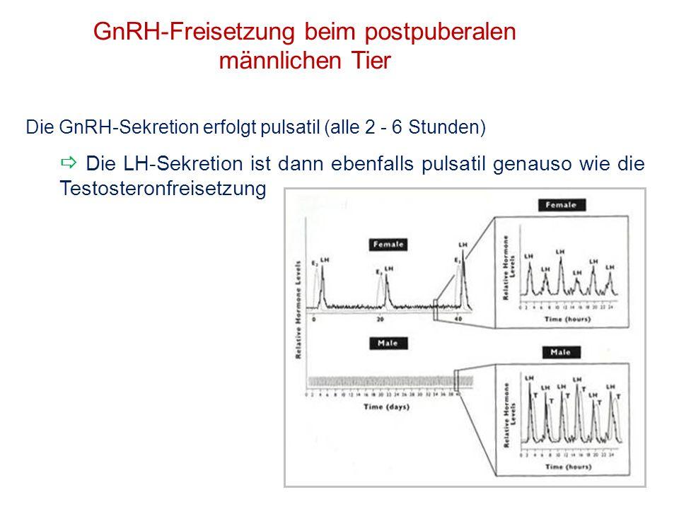 GnRH-Freisetzung beim postpuberalen männlichen Tier Die GnRH-Sekretion erfolgt pulsatil (alle 2 - 6 Stunden) Die LH-Sekretion ist dann ebenfalls pulsa