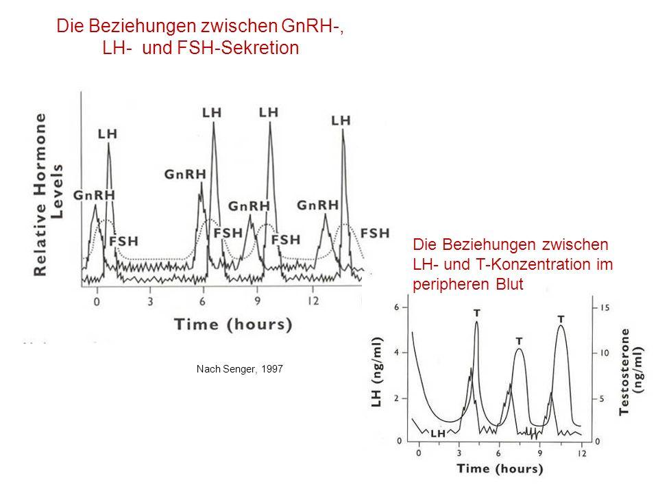 Die Beziehungen zwischen GnRH-, LH- und FSH-Sekretion Nach Senger, 1997 Die Beziehungen zwischen LH- und T-Konzentration im peripheren Blut