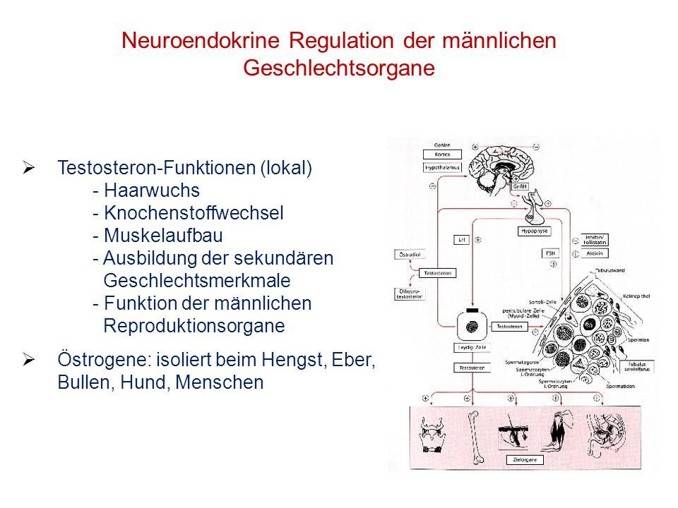 Neuroendokrine Regulation der männlichen Geschlechtsorgane Testosteron-Funktionen (lokal) - Haarwuchs - Knochenstoffwechsel - Muskelaufbau - Ausbildun