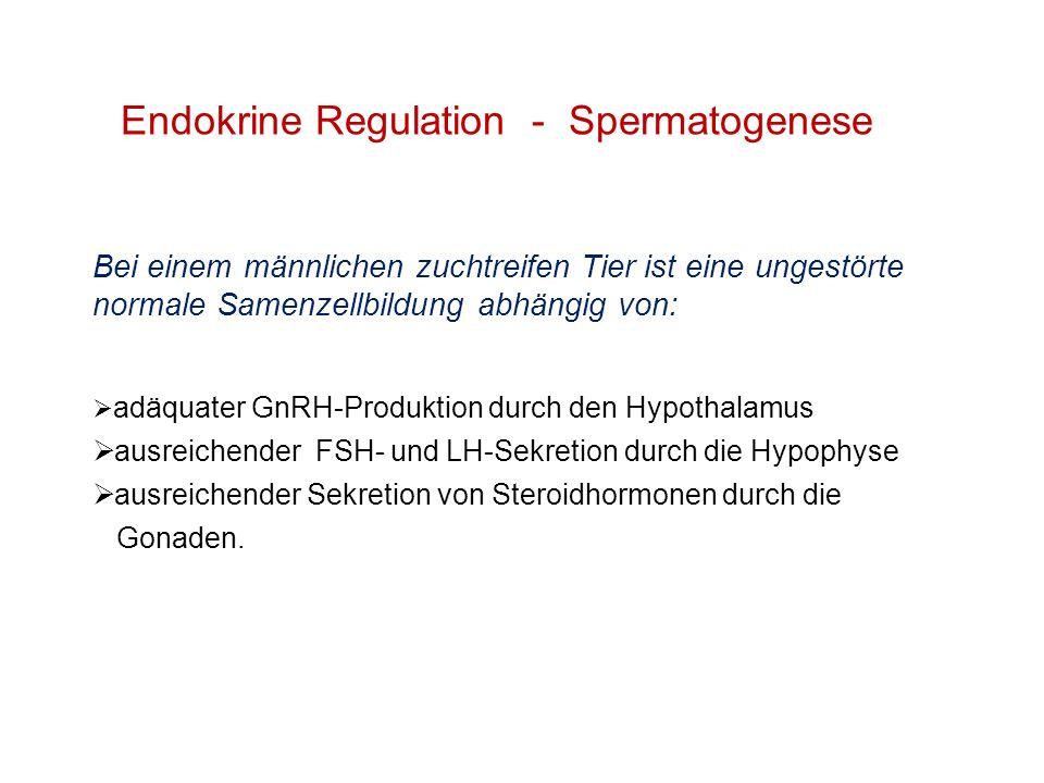 Bei einem männlichen zuchtreifen Tier ist eine ungestörte normale Samenzellbildung abhängig von: adäquater GnRH-Produktion durch den Hypothalamus ausr