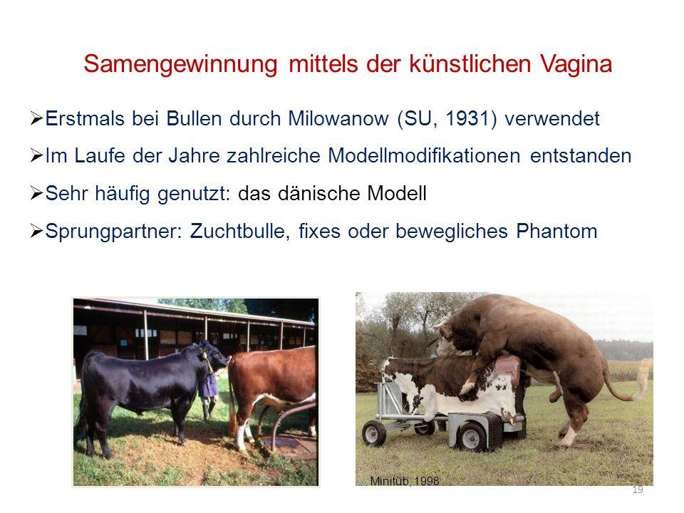 Samengewinnung mittels der künstlichen Vagina Erstmals bei Bullen durch Milowanow (SU, 1931) verwendet Im Laufe der Jahre zahlreiche Modellmodifikationen entstanden Sehr häufig genutzt: das dänische Modell Sprungpartner: Zuchtbulle, fixes oder bewegliches Phantom 19 Minitüb, 1998