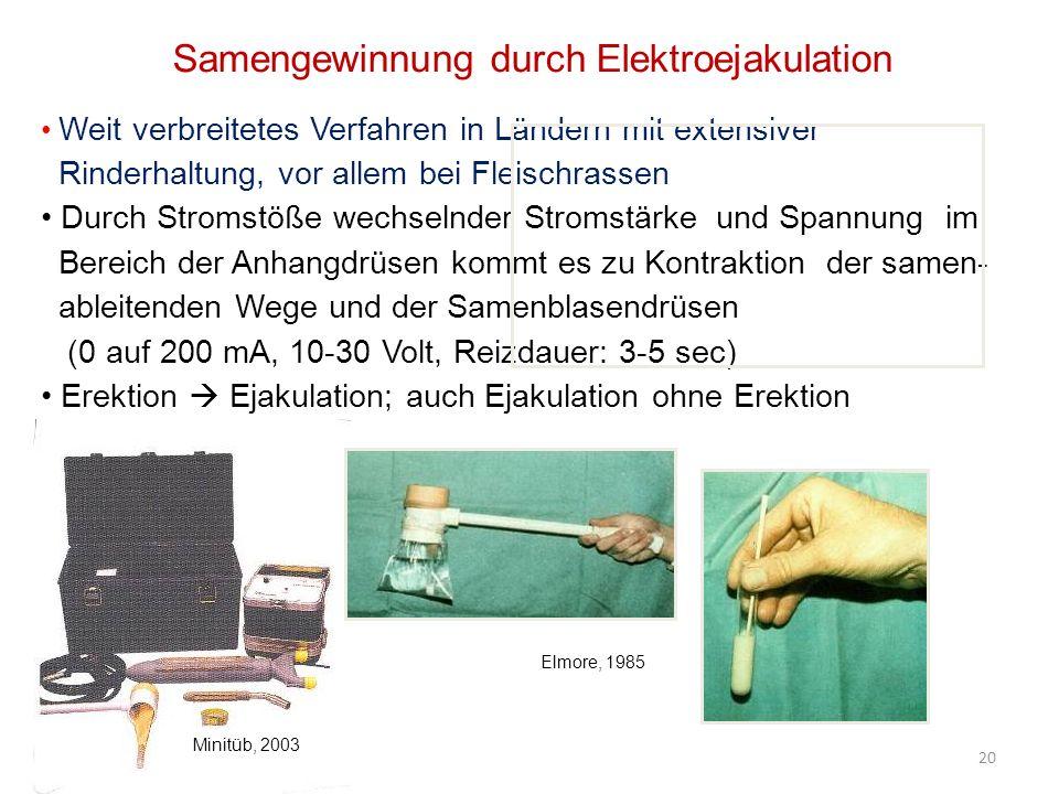 Samengewinnung durch Elektroejakulation Weit verbreitetes Verfahren in Ländern mit extensiver Rinderhaltung, vor allem bei Fleischrassen Durch Stromstöße wechselnder Stromstärke und Spannung im Bereich der Anhangdrüsen kommt es zu Kontraktion der samen- ableitenden Wege und der Samenblasendrüsen (0 auf 200 mA, 10-30 Volt, Reizdauer: 3-5 sec) Erektion Ejakulation; auch Ejakulation ohne Erektion 20 Elmore, 1985 Minitüb, 2003