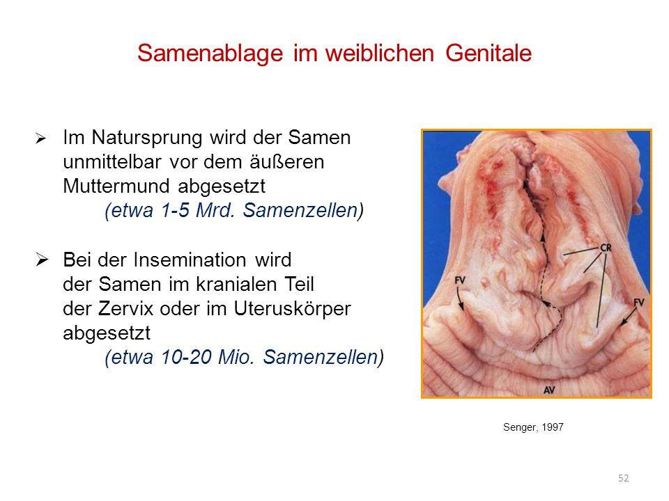 Samenablage im weiblichen Genitale Im Natursprung wird der Samen unmittelbar vor dem äußeren Muttermund abgesetzt (etwa 1-5 Mrd.