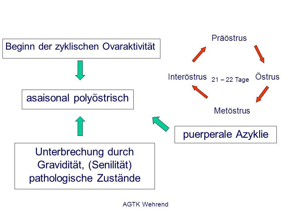 AGTK Wehrend Beginn der zyklischen Ovaraktivität asaisonal polyöstrisch Präöstrus Östrus Metöstrus Interöstrus 21 – 22 Tage Unterbrechung durch Gravid