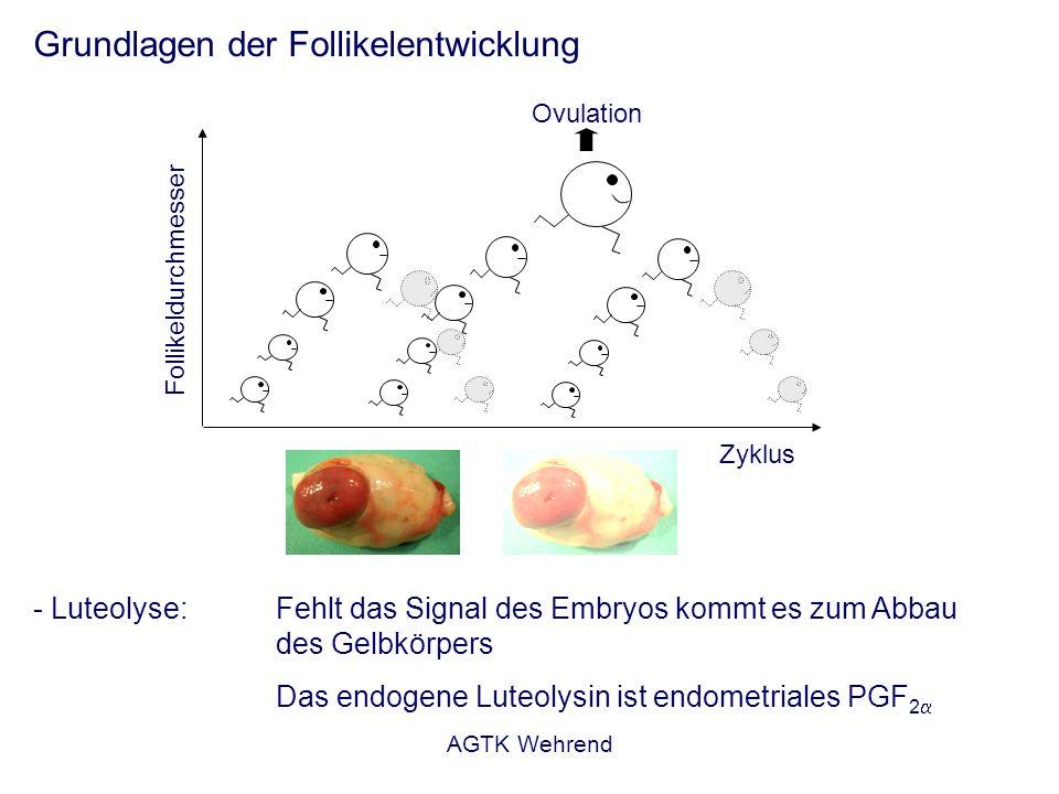 AGTK Wehrend Luteolyse Östrogene induzieren die Synthese von Oxytozinrezeptoren im Endometrium Oxytozin aus dem Gelbkörper bindet an die Endometriumrezeptoren Induktion der Prostaglandinsynthese im Endometrium Luteolyse Oxytozin stellt einen wesentlichen Faktor für die Luteolyse beim Wiederkäuer dar.