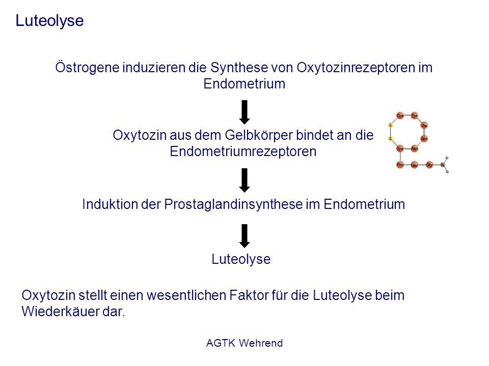AGTK Wehrend Luteolyse Östrogene induzieren die Synthese von Oxytozinrezeptoren im Endometrium Oxytozin aus dem Gelbkörper bindet an die Endometriumre