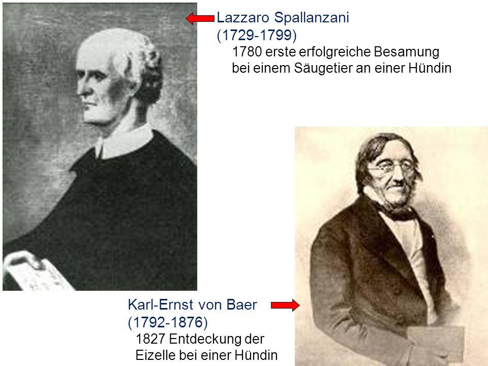 Lazzaro Spallanzani (1729-1799) 1780 erste erfolgreiche Besamung bei einem Säugetier an einer Hündin Karl-Ernst von Baer (1792-1876) 1827 Entdeckung d