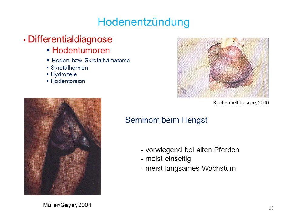 13 Hodenentzündung Differentialdiagnose Hodentumoren Hoden- bzw. Skrotalhämatome Skrotalhernien Hydrozele Hodentorsion Seminom beim Hengst - vorwiegen