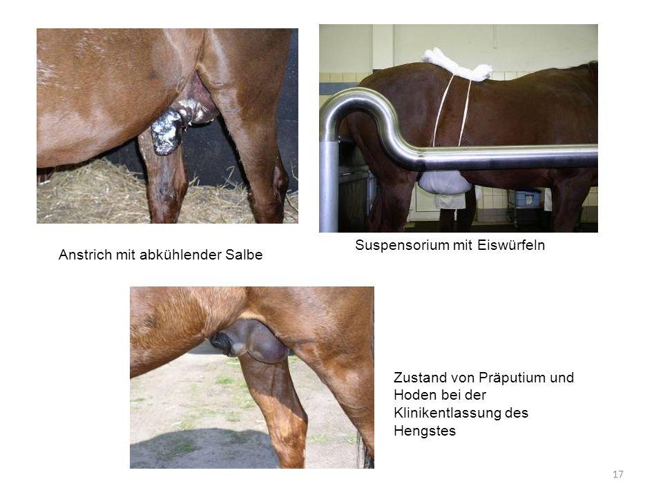 17 Suspensorium mit Eiswürfeln Anstrich mit abkühlender Salbe Zustand von Präputium und Hoden bei der Klinikentlassung des Hengstes