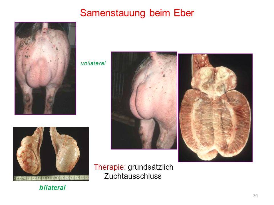 30 Samenstauung beim Eber Therapie: grundsätzlich Zuchtausschluss unilateral bilateral