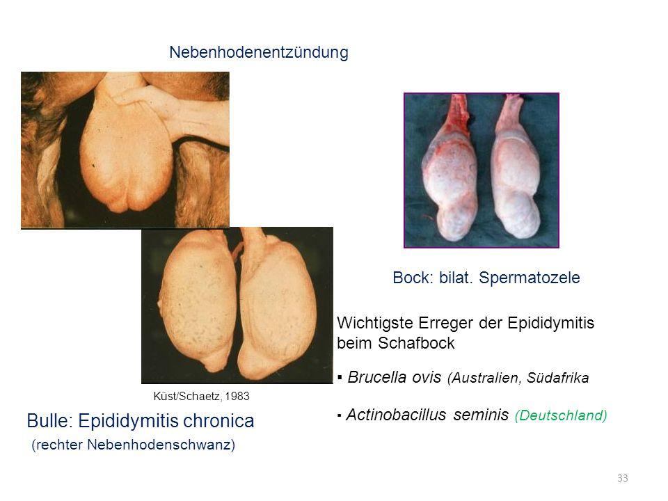 33 Nebenhodenentzündung Küst/Schaetz, 1983 Bulle: Epididymitis chronica (rechter Nebenhodenschwanz) Bock: bilat. Spermatozele Wichtigste Erreger der E