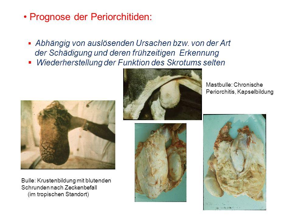 Prognose der Periorchitiden: Abhängig von auslösenden Ursachen bzw. von der Art der Schädigung und deren frühzeitigen Erkennung Wiederherstellung der