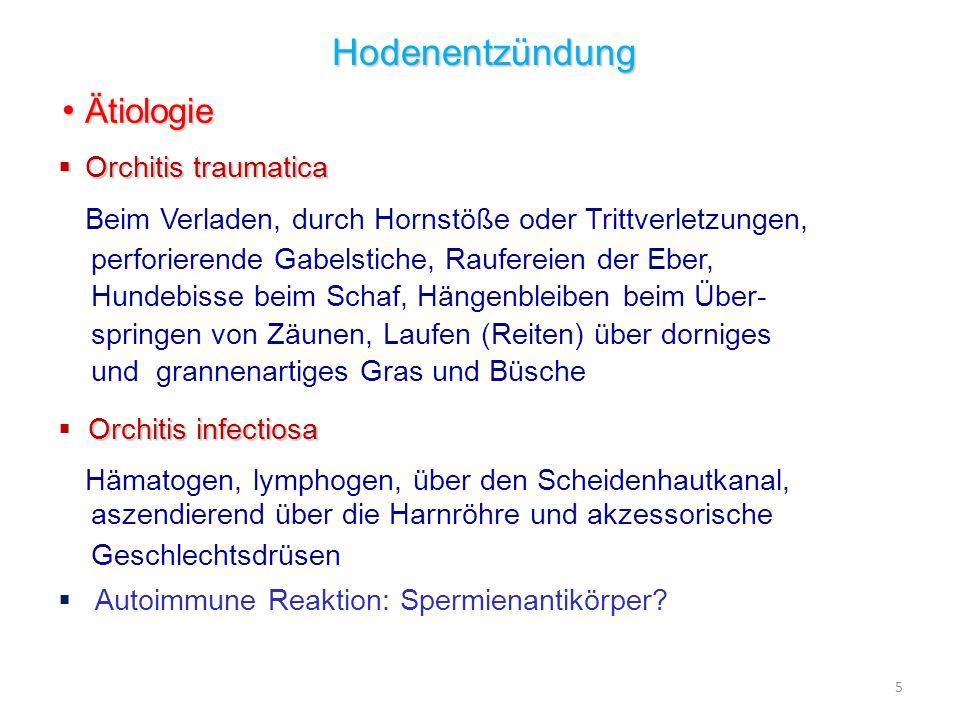 5 Hodenentzündung Ätiologie Ätiologie Orchitis traumatica Orchitis traumatica Beim Verladen, durch Hornstöße oder Trittverletzungen, perforierende Gab