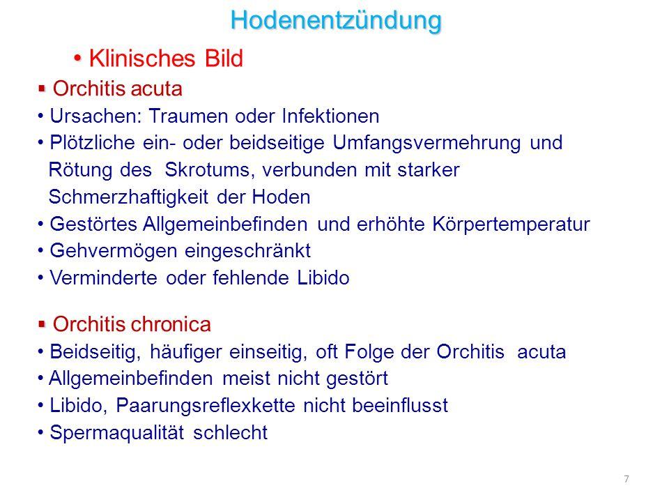 Hengst Schwarzwälder Fuchs Name:Wa, 4- jährig, Kl.Nr.