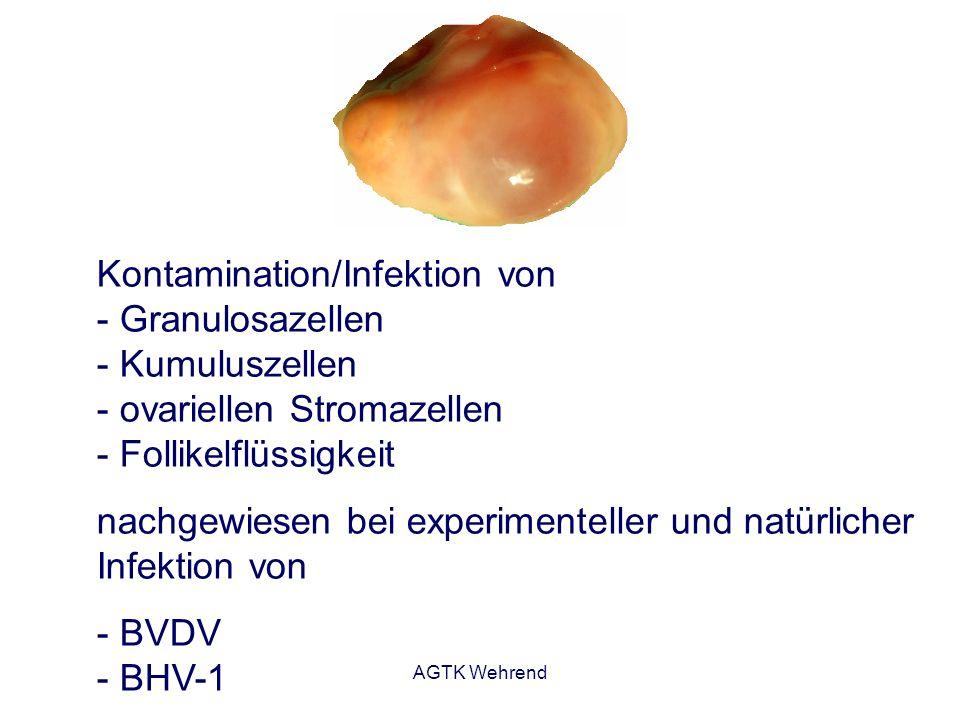AGTK Wehrend Kontamination/Infektion von - Granulosazellen - Kumuluszellen - ovariellen Stromazellen - Follikelflüssigkeit nachgewiesen bei experiment